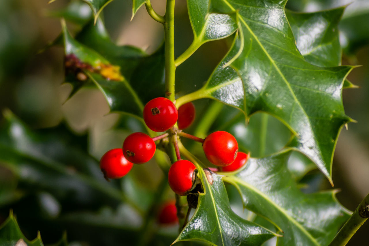 growth, leaf, red, food and drink, fruit, green color, nature, tree, plant, focus on foreground, no people, food, healthy eating, day, close-up, branch, outdoors, beauty in nature, freshness