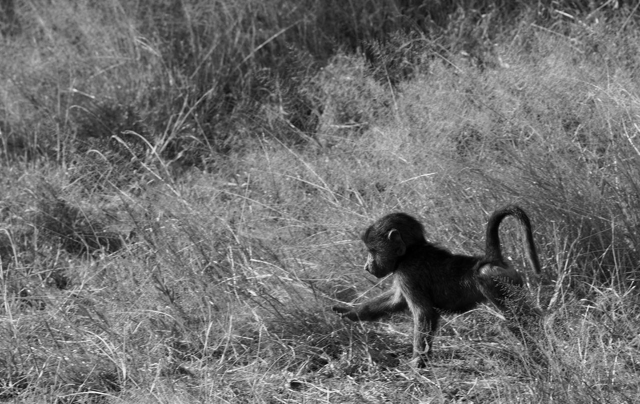 Side View Of Monkey Walking On Field
