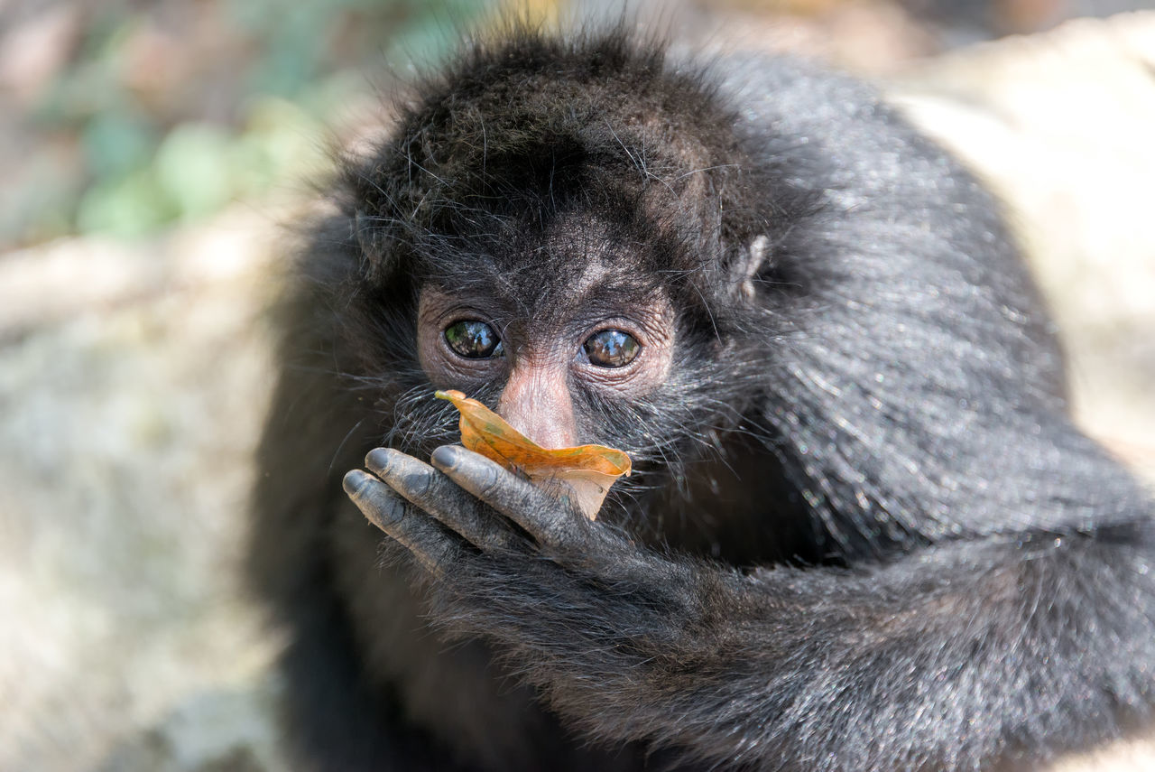 Closeup view of a spider monkey chewing on a leaf in the jungle near Coroico, Bolivia America Animal Ateles Black Bolivia Closeup Face Green Looking Mammal Monkey Monkeys Natural Nature Nature Outdoors Outodoors Portrait Primate South Spider White Wild Wildlife Young
