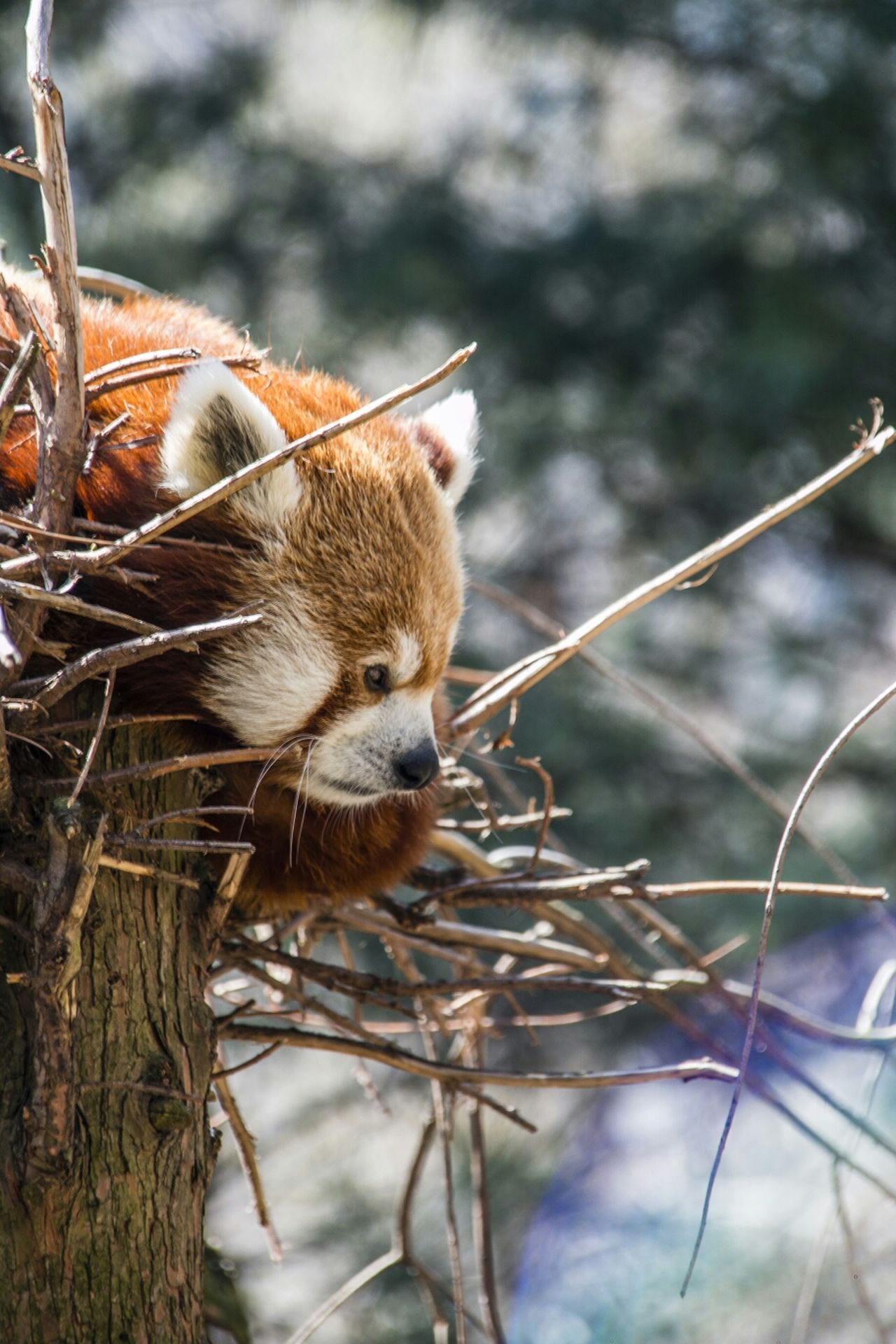 Beautiful stock photos of panda, Animal Head, Animal Themes, Animals In The Wild, Close-Up