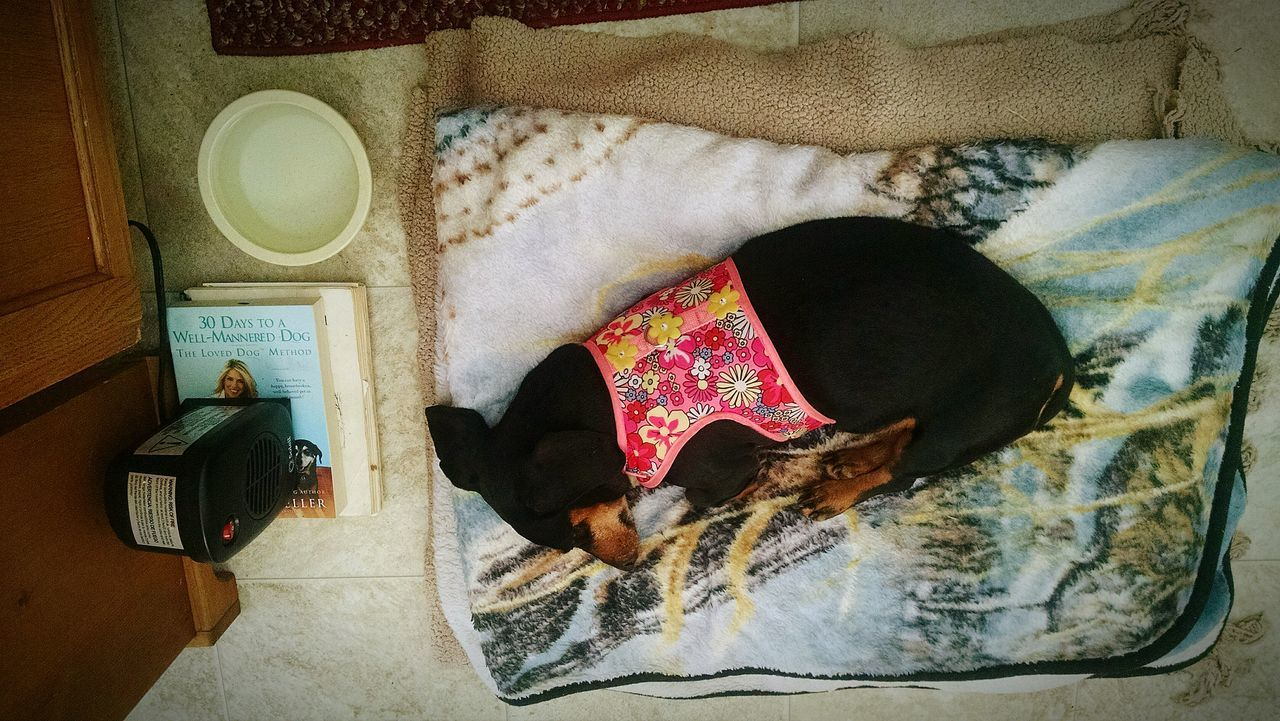 Domestic Animals Pretty♡ Abagail <3 Sleeping Beauty After Her Morning Stroll. Angelic Loyaldog Doxie Loving Moments Doxie Moxie Dog❤ Doxie Love Animal Themes Dog Pets Love Without Boundaries
