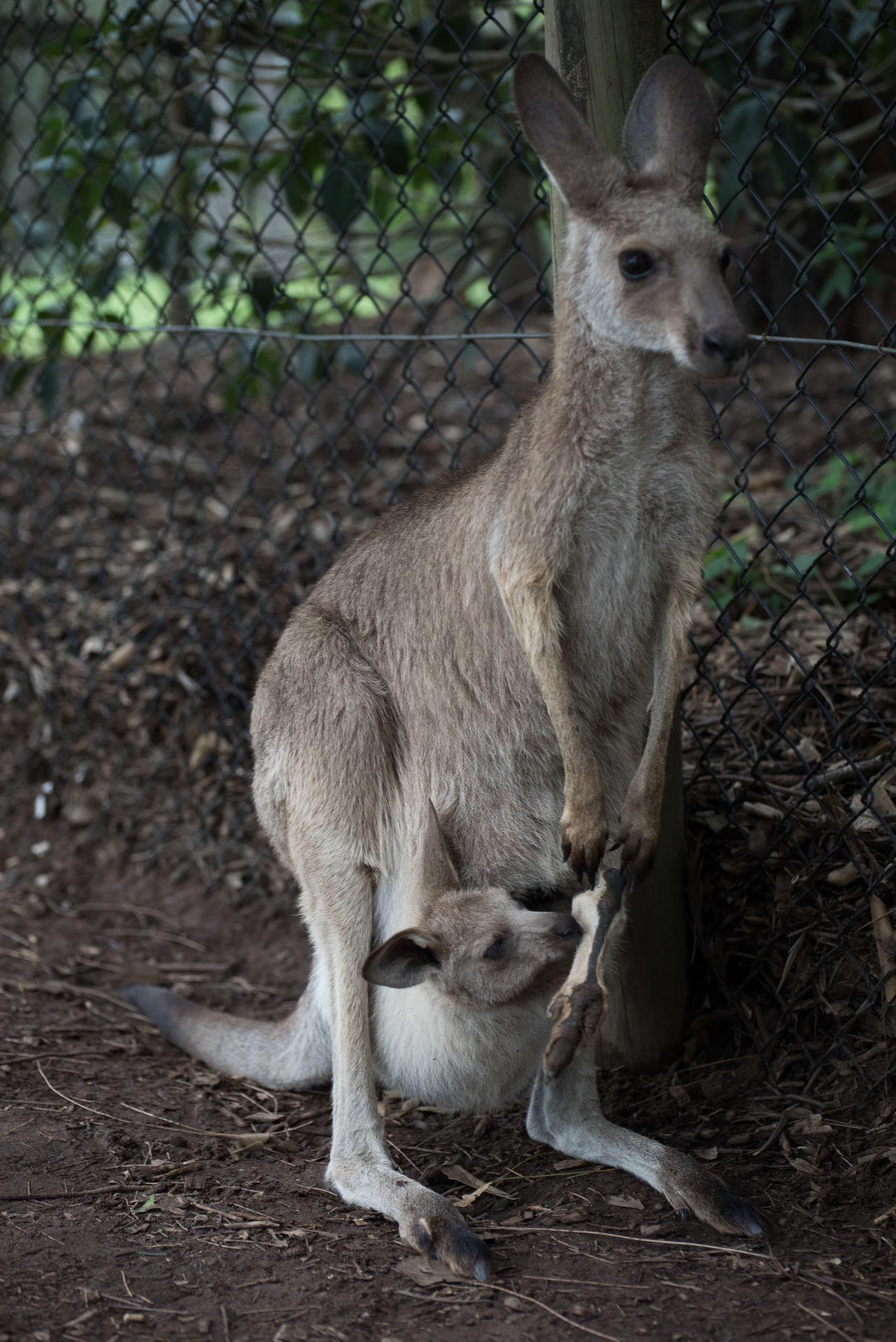 Beautiful stock photos of kangaroo, Alert, Animal Themes, Baby, Cute