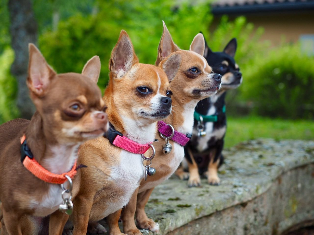 Beautiful stock photos of chihuahua, Animal Themes, Black Color, Brown, Chihuahua - Dog