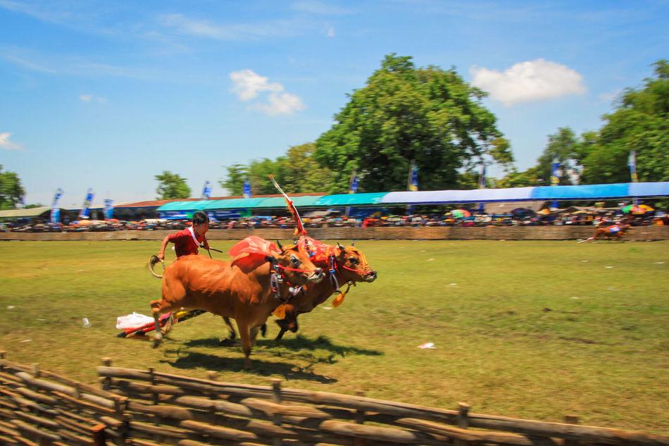 Bull Racing Traditional Racing Competition Bull Racing Karapan Sapi Traditional Racing Madura Island Culture Madura Traditional Culture Indonesia Culture Culture And Tradition Heritage Cultural Heritage Traditional Cultures
