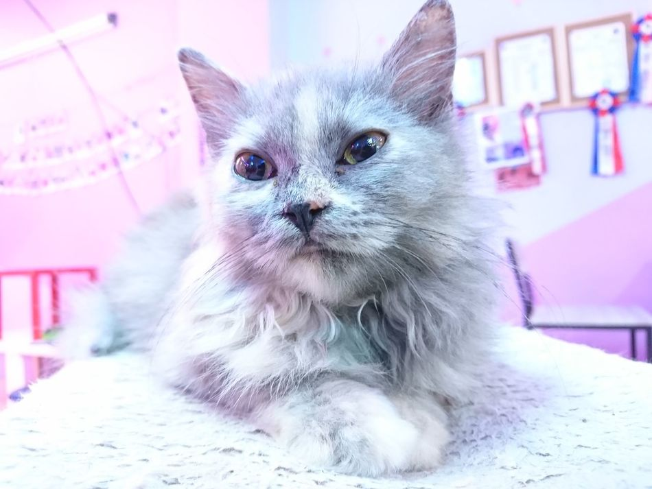 Pets Domestic Cat Portrait One Animal Looking At Camera Cute Domestic Animals Indoors  No People Mammal Animal Themes Close-up Day
