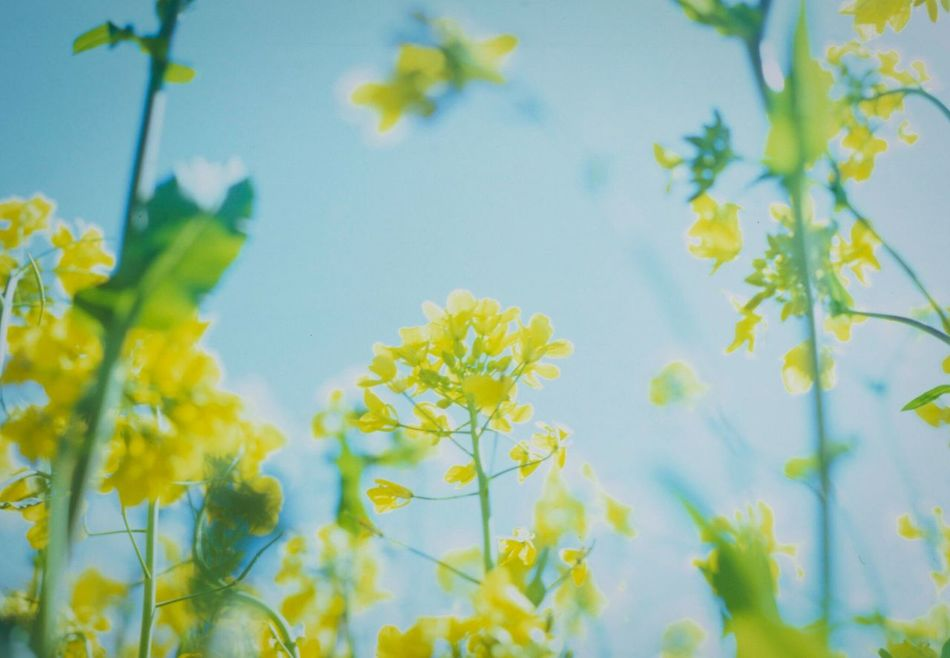 EyeEm Flower EyeEm Nature Lover Spring Yellow Field Mustard Blooming Pastel Power Film Photography Reversalfilm Landscapes With WhiteWall