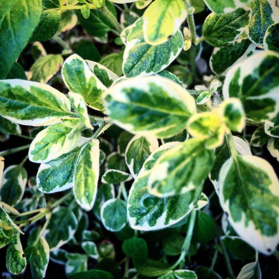スイートマジョラムです ワサワサ生えてきました 冬場は枯れ切りもうアウトかと心配していましたが一安心 イタリアではリグーリア州の料理の香りづけに使われることが多いです 個人的にはフレッシュの摘みたてをハーブティーにするのが大好きです Japan ペペロッソ イタリアン Italian マジョラム Marjoram ハーフ Gardening
