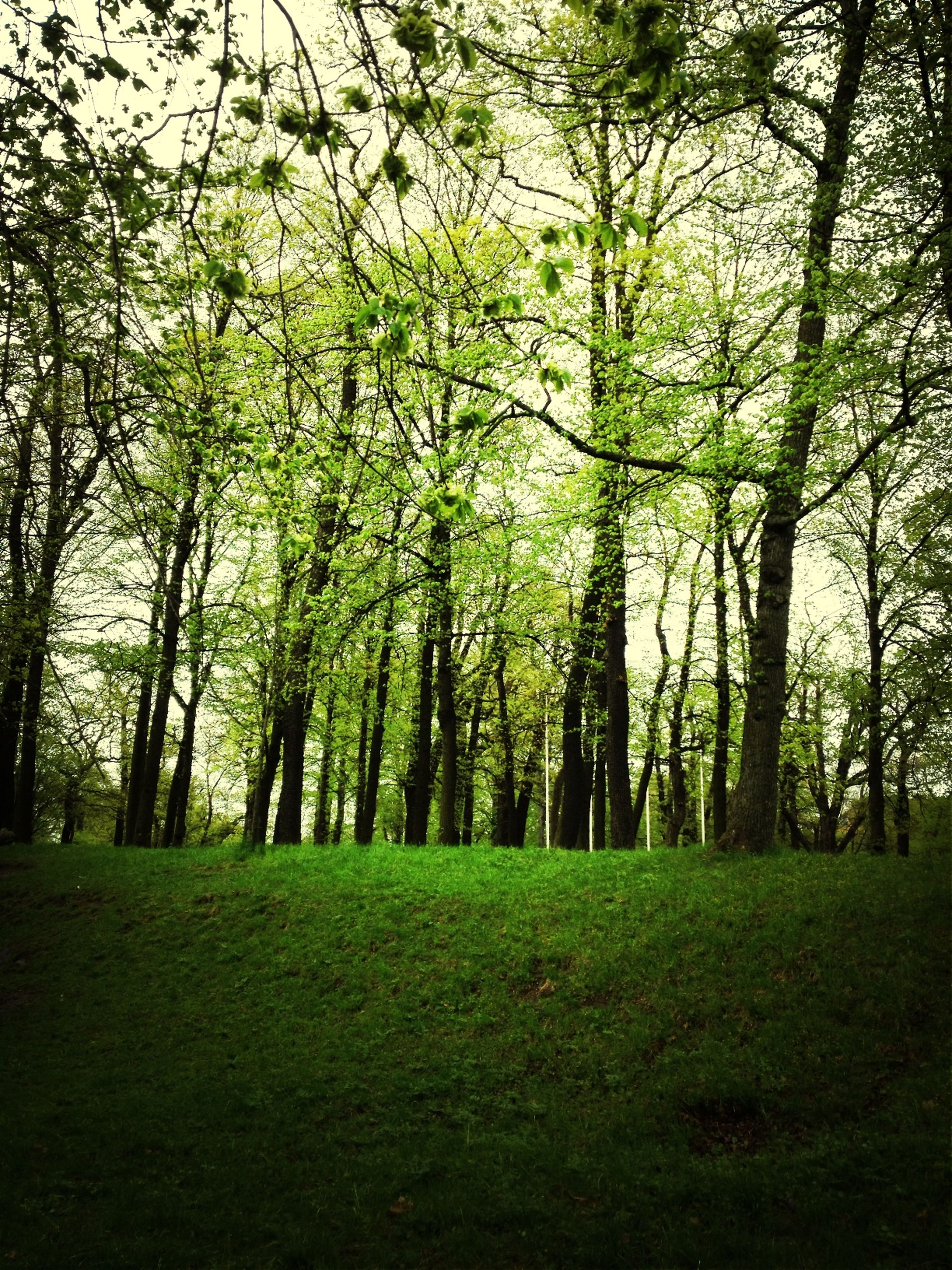 tree, tranquility, tree trunk, grass, growth, green color, tranquil scene, branch, nature, beauty in nature, scenics, forest, landscape, day, sunlight, field, outdoors, woodland, grassy, non-urban scene