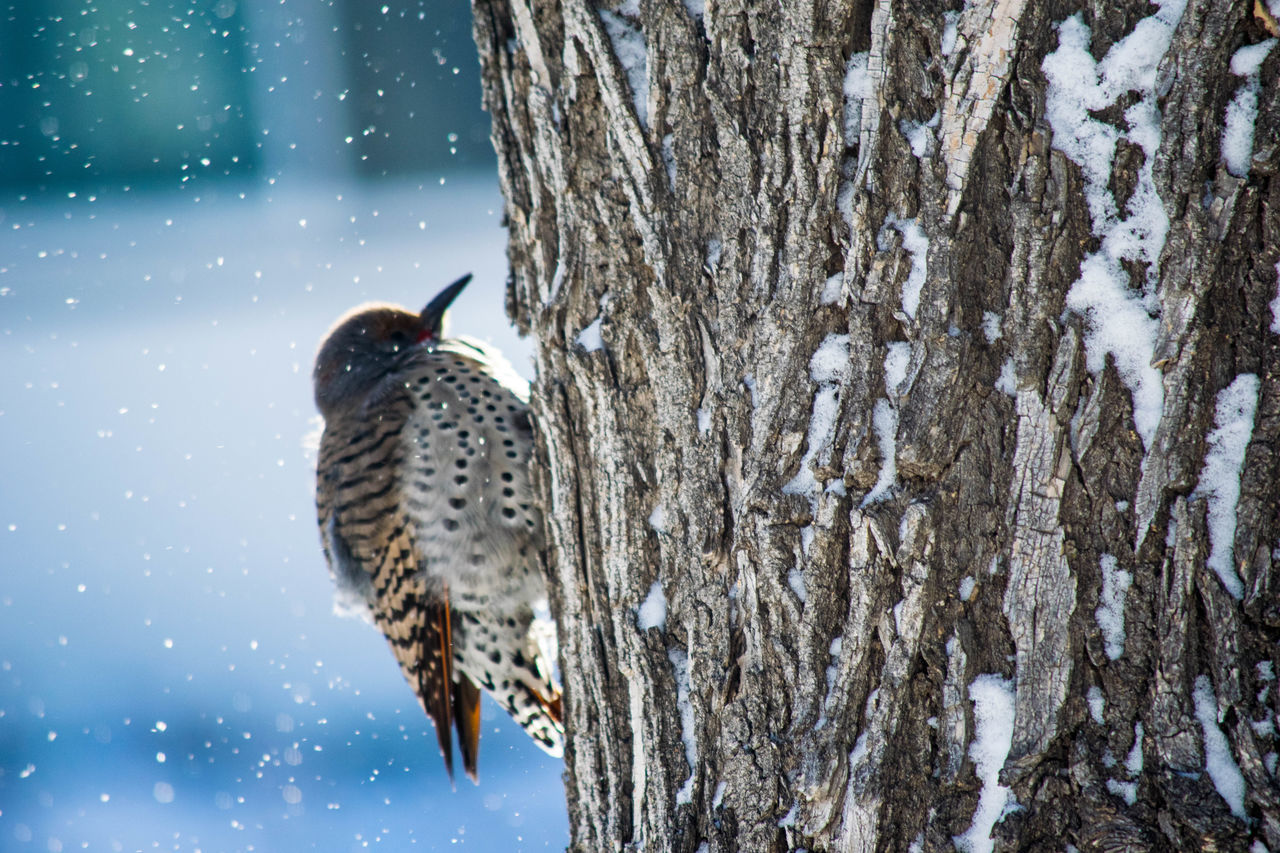 Beautiful stock photos of woodpecker,  Animal Themes,  Animal Wildlife,  Animals In The Wild,  Beauty In Nature