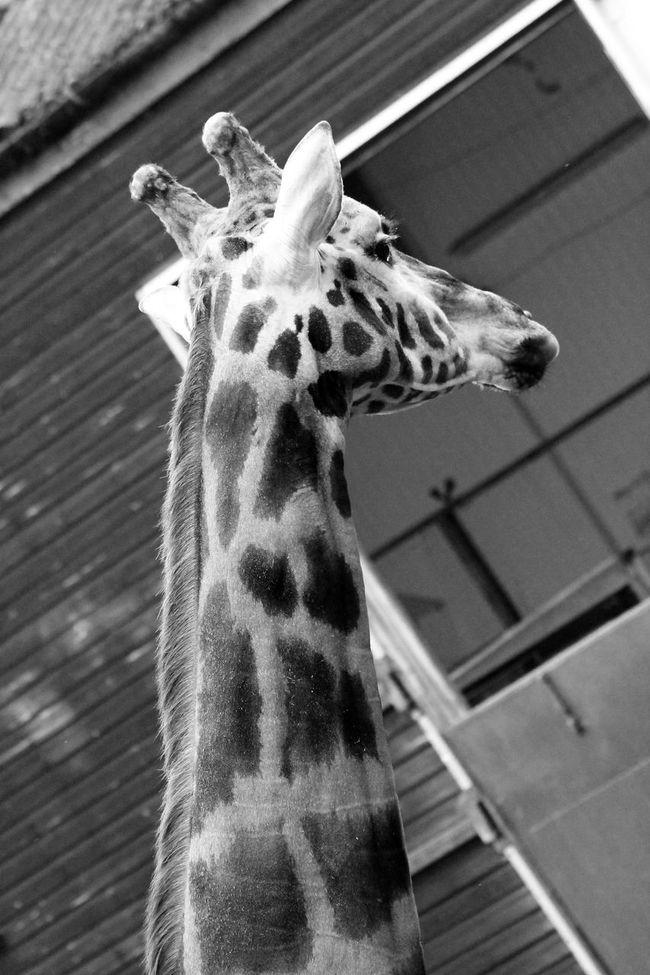Animal Head  Animal Themes Dudley Zoo Giraffe Herbivorous Mammal Zoology Animal Photography Animal Head  Zoophotography Zooanimals Zoo Animals  Zoo Animal Zoo Photography  Dudley Giraffes Giraffe♥ Giraffe ♡ Giraffes!