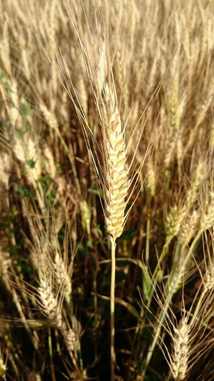 growth, cereal plant, plant, nature, wheat, field, crop, agriculture, ear of wheat, outdoors, no people, beauty in nature, day, close-up, rural scene, grass, rye - grain
