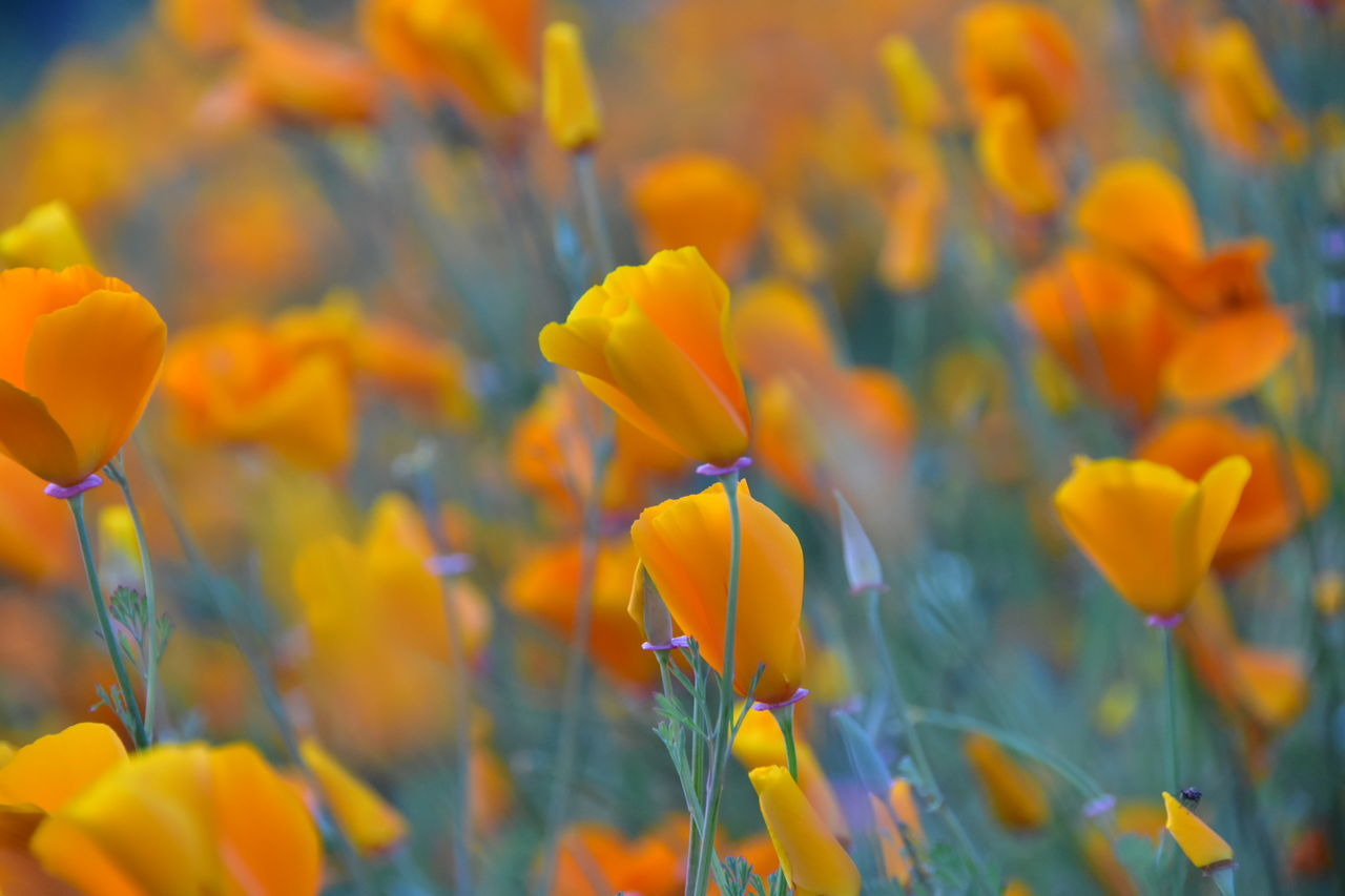 Backgrounds Beauty In Nature Blooming California Poppy Close-up Day Flower Flower Head Fragility Freshness Growth Nature No People Outdoors Petal Plant Wildflowers In Bloom Yellow