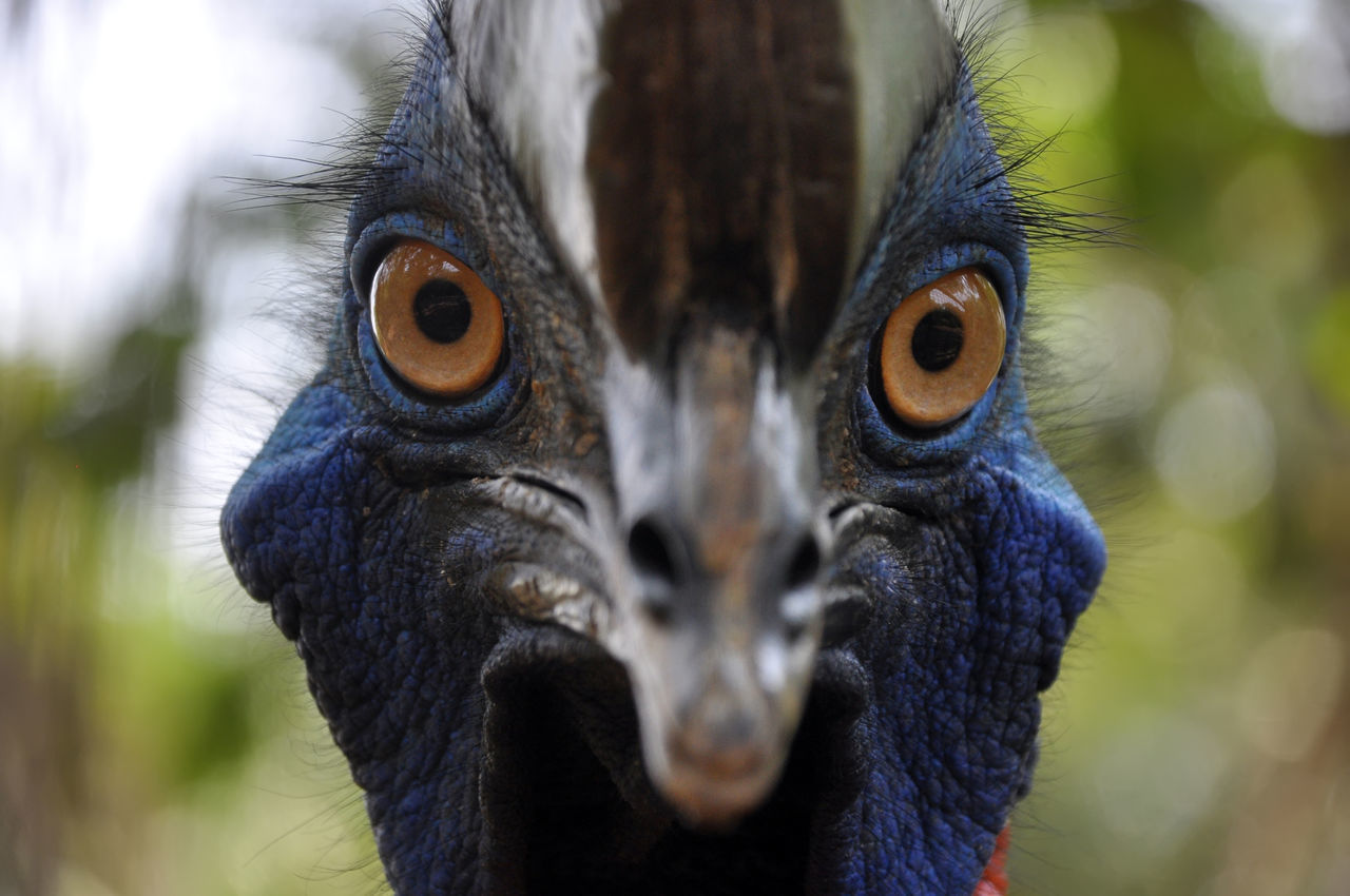 Beautiful stock photos of wildlife, Alertness, Bird, Cassowary, Concentration