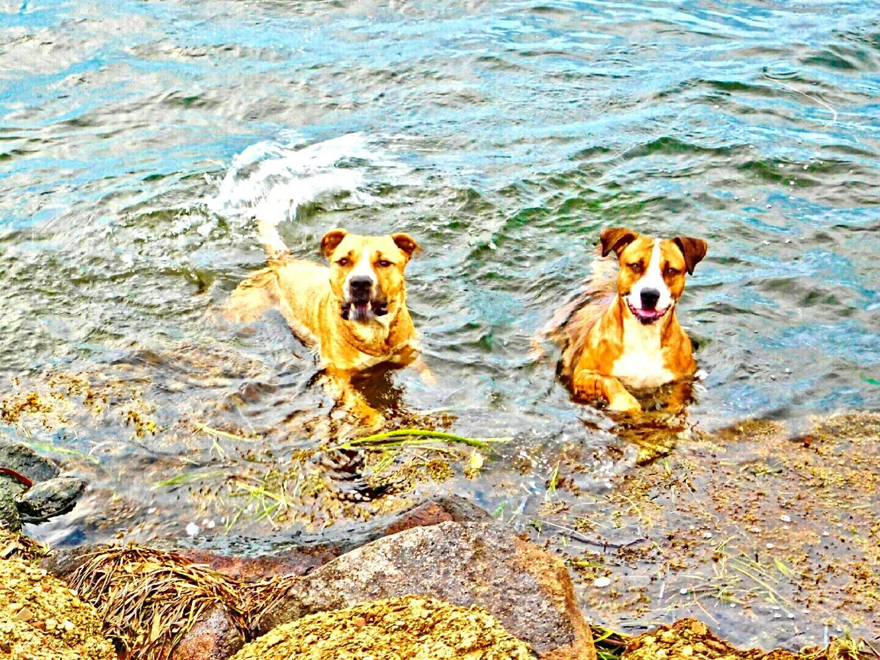 my gorgeous pups ❤Bliss❤ Femalephotographer Femalephotographerofthemonth Nikonl840 Dogs Swimming Lake Macquarie My Pittys❤ I Love My Pittbull ❤ I Love My Pitbull ❤ Pitbulls