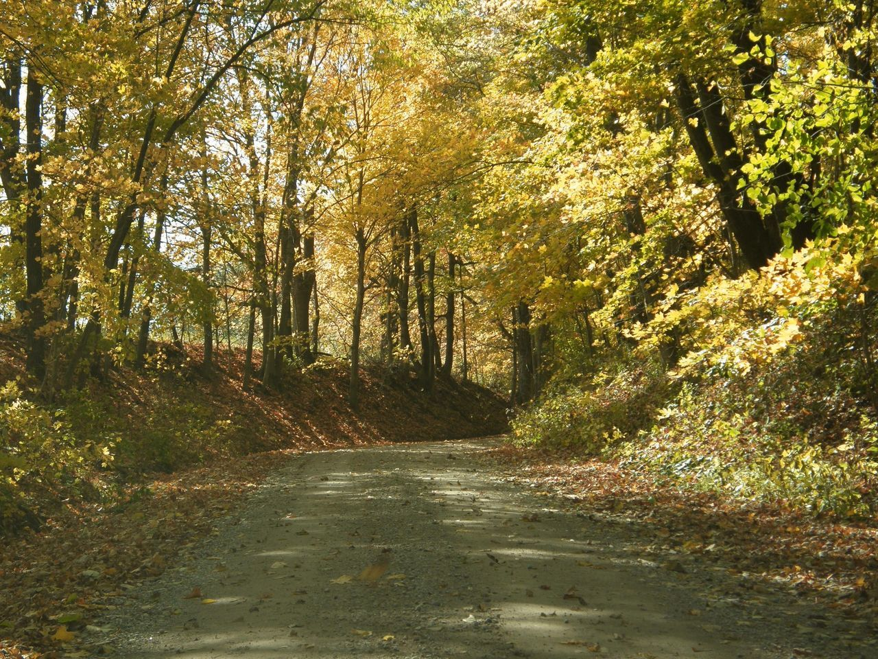 tree, forest, nature, tranquility, autumn, day, the way forward, no people, road, outdoors, beauty in nature, scenics, growth