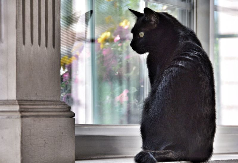 One Animal Domestic Cat Feline Watching Window Indoors  Looking Away At Home Pets Alertness Reflection Cats Of EyeEm Nikon D3300 Cat BLackCat