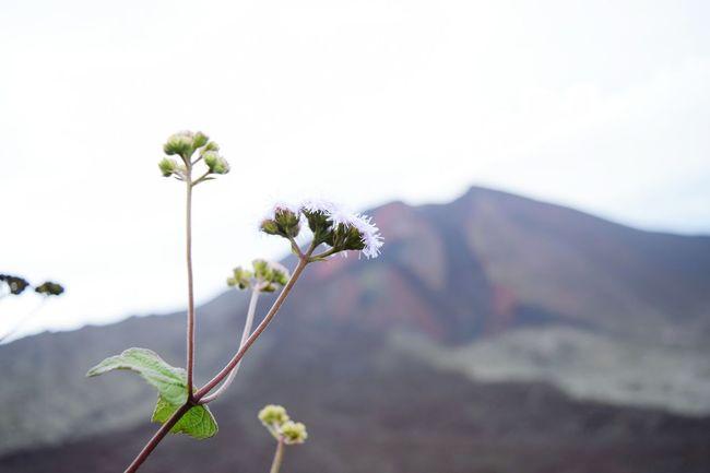 My First Eyem Photo Pacaya Volcanic  Volcano Volcanos Flower