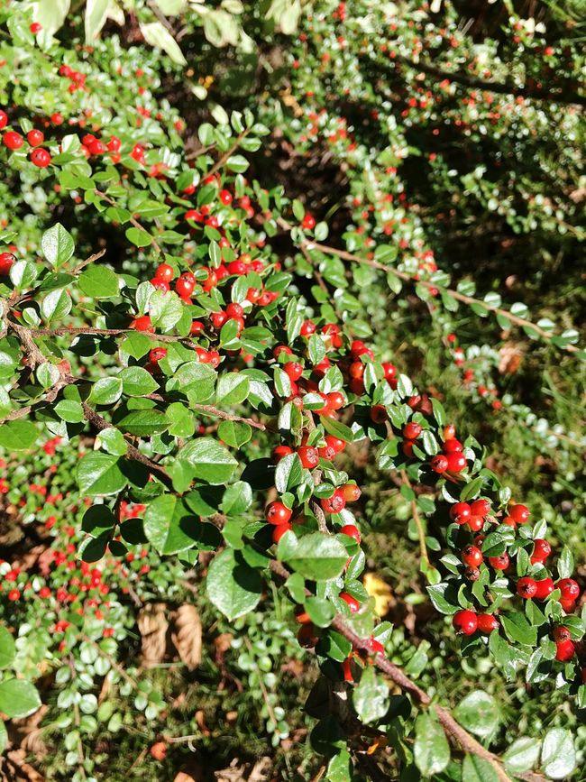 Growth Red Nature Fruit Close-up Freshness Plant Beauty In Nature Green Color Leaf No People Full Frame Rowanberry Day Outdoors Tree