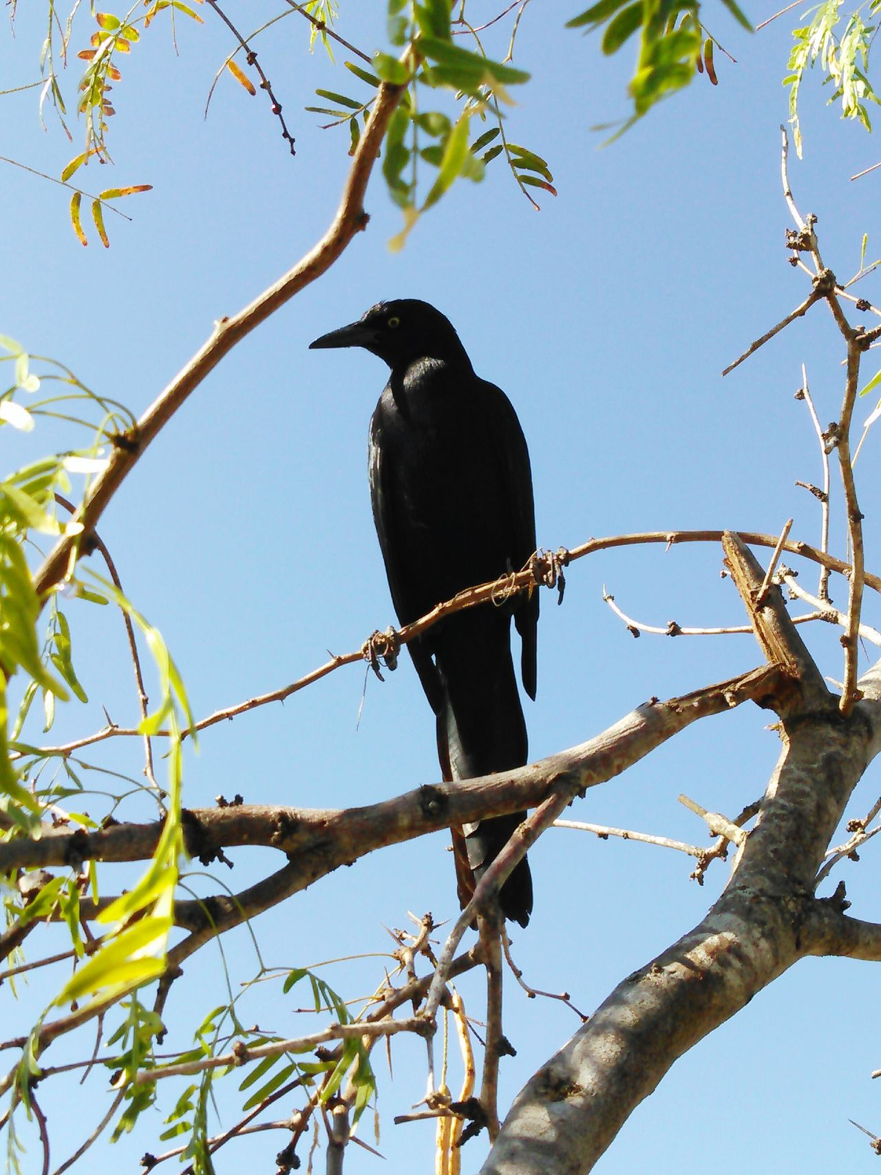 My Best Photo 2015 Captain Jack The Black Crackle Bird My Island Follower