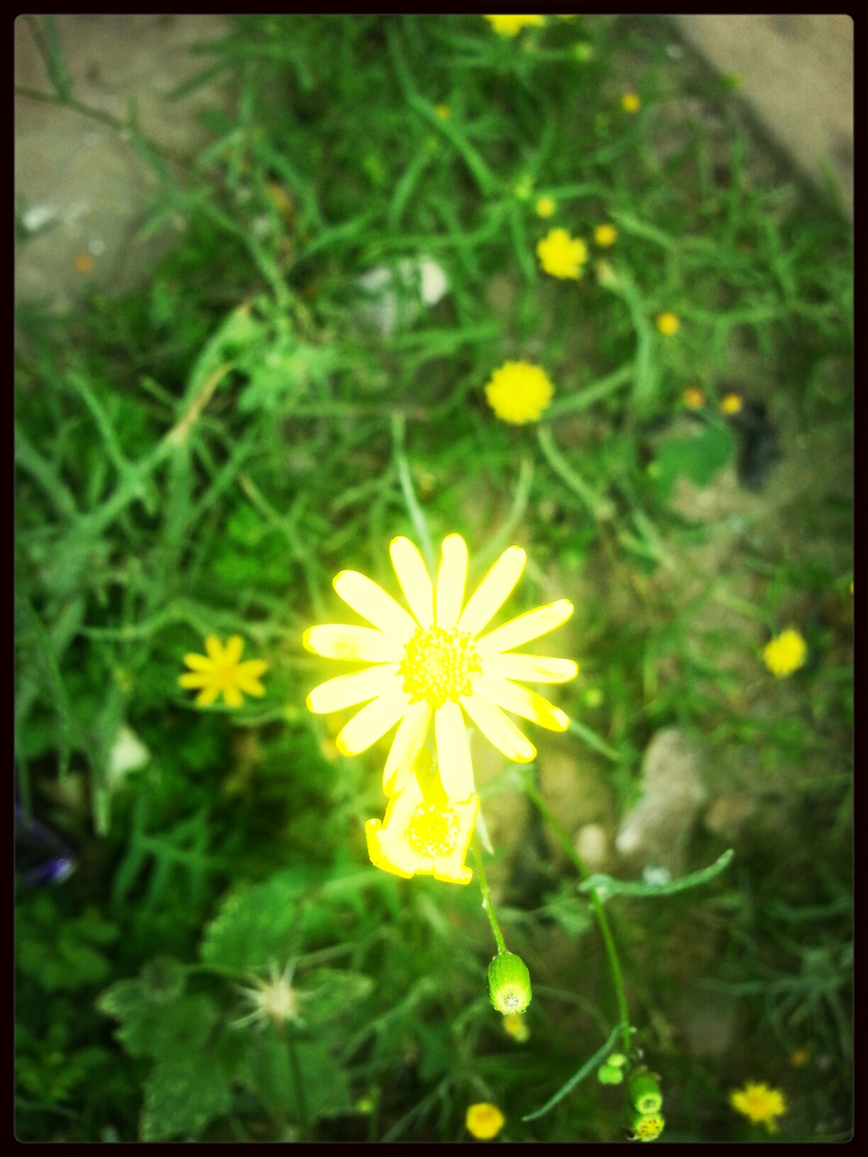 flower, transfer print, freshness, yellow, growth, fragility, petal, flower head, beauty in nature, auto post production filter, focus on foreground, nature, blooming, plant, field, close-up, selective focus, in bloom, wildflower, stem