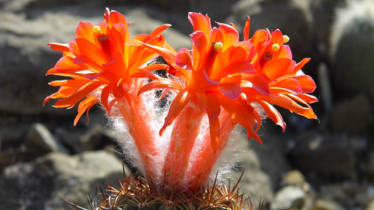Blooming Blossom Cactus Cactus Flower Firered In Bloom Matucana, Perú Orange Color Summer