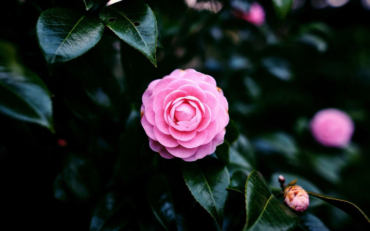 Flower Petal Beauty In Nature Fragility Nature Rose - Flower Flower Head Growth Freshness Plant Pink Color Blooming Close-up Leaf Outdoors Day No People