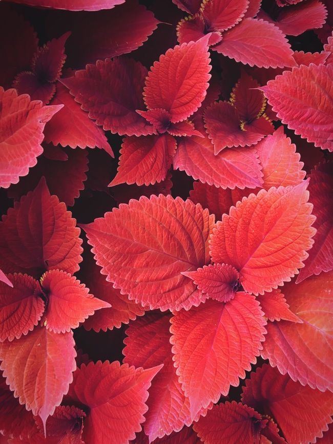 Color Palette Red Leaves Colour Of Life Beauty In Nature Nature Plant Abundance Full Frame Coleus