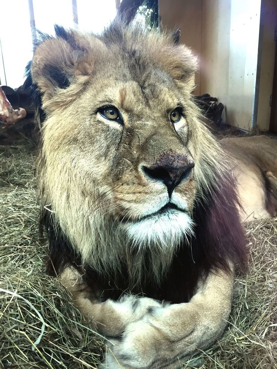 My Year My View One Animal Animal Themes Lion No People Nature
