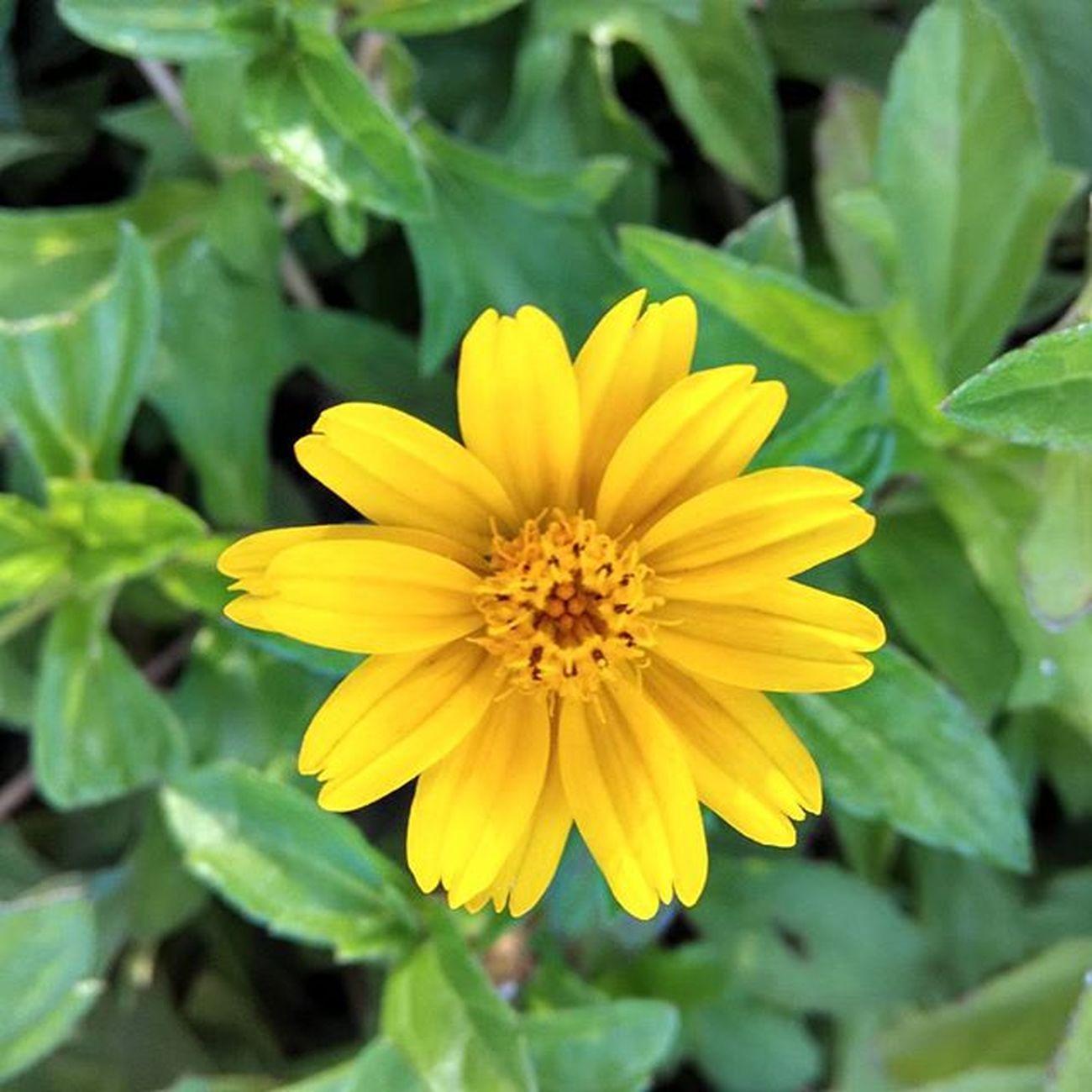 Flower Yellow Focussed Autofocus Xiaomi Mi Redmi1s Miui7 HDR Supercam Ringroad Rajkot Sunday Evening