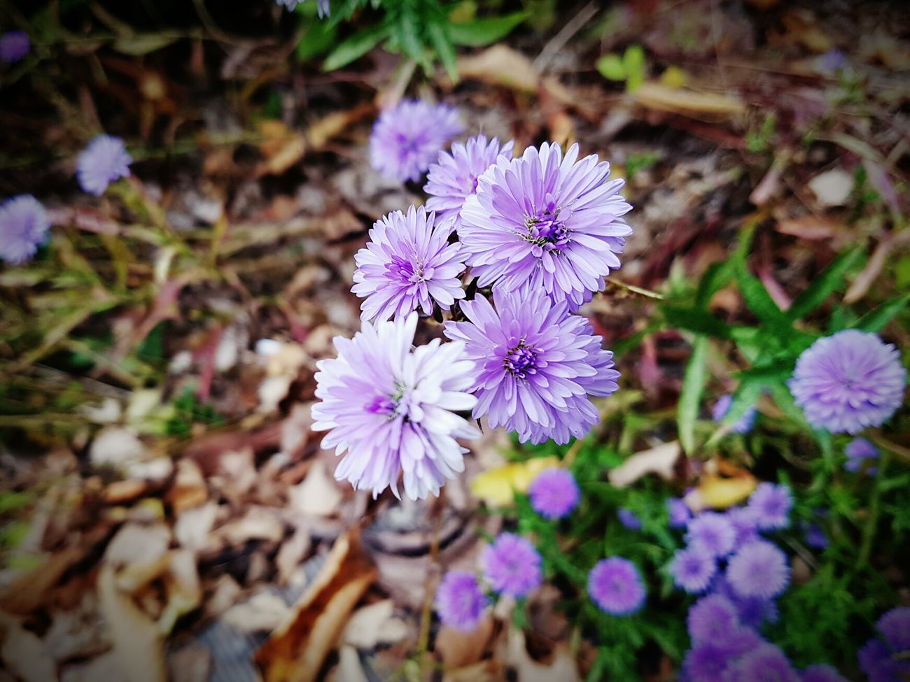 Purple Flower Nature Beauty In Nature Freshness Fragility Plant Growth Flower Head Blooming Close-up Outdoors Day No People Eyem Nature Lovers  Petal Taking Photos Check This Out Getting Inspired Focus On Foreground Beauty In Nature Freshness Nature