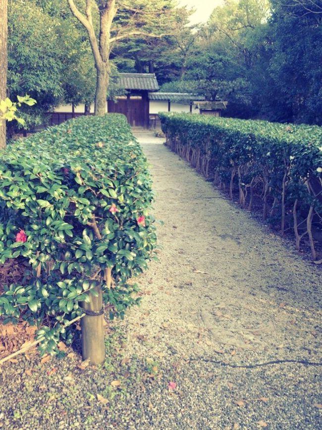 Camellia Sasanqua Koukyo Gaien Kyouto Japan Tea Ceremony The Way Of Tea Chanoyu Hedge Japanese Hedge Japanese Garden