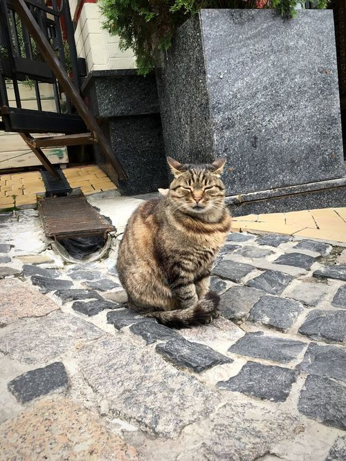 His Magesty Domestic Cat Animal Themes Feline One Animal Pets Sitting Outdoors Domestic Animals Looking At Camera Portrait No People Nature Cat Cats Cats Of EyeEm Brown Cat  Yellow Cat Stripy Cat Pet Big Cat Street Cat Street Streetphotography Street Photography City Street