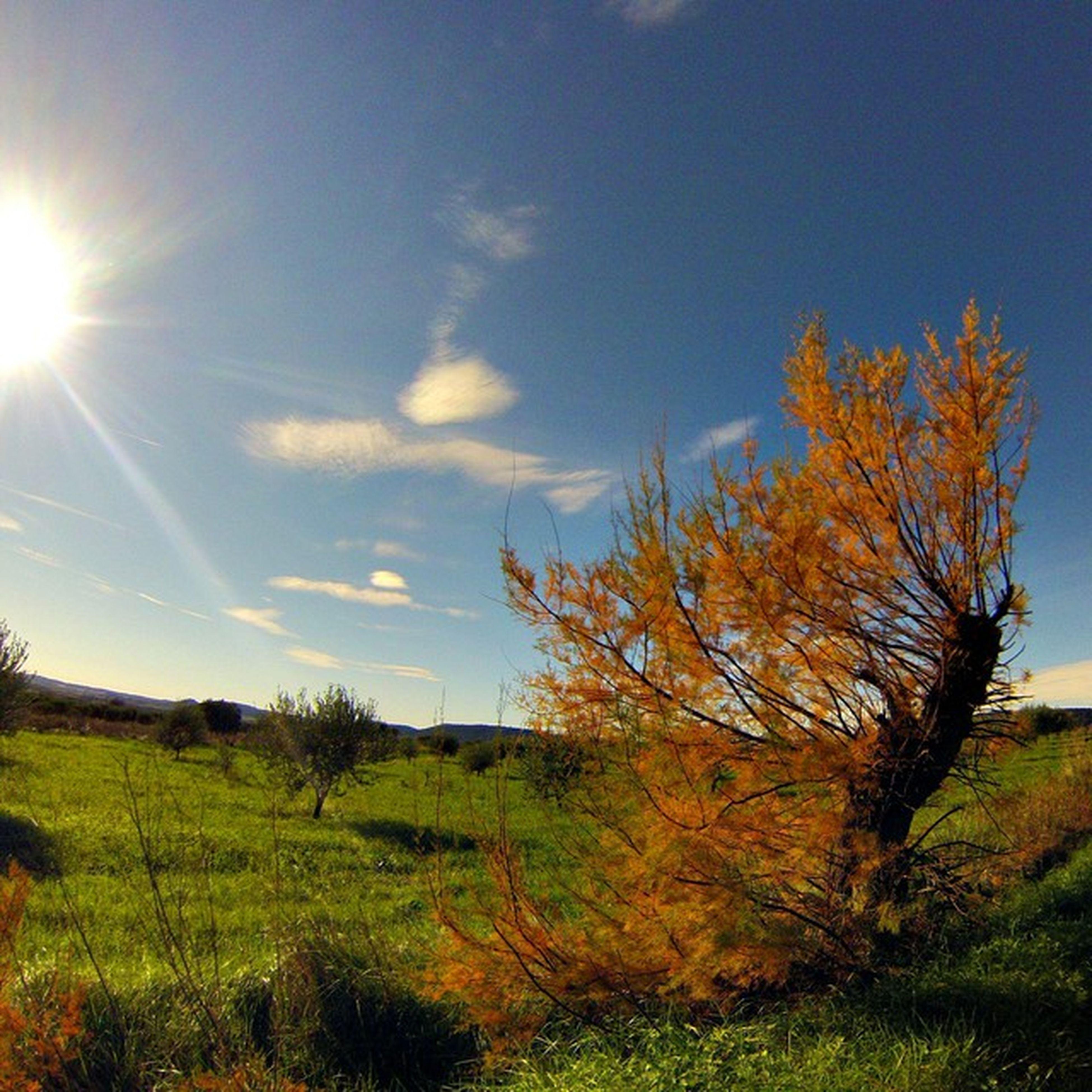 grass, sun, tree, tranquility, tranquil scene, sunlight, sky, sunbeam, field, beauty in nature, landscape, scenics, grassy, nature, growth, lens flare, blue, green color, idyllic, non-urban scene