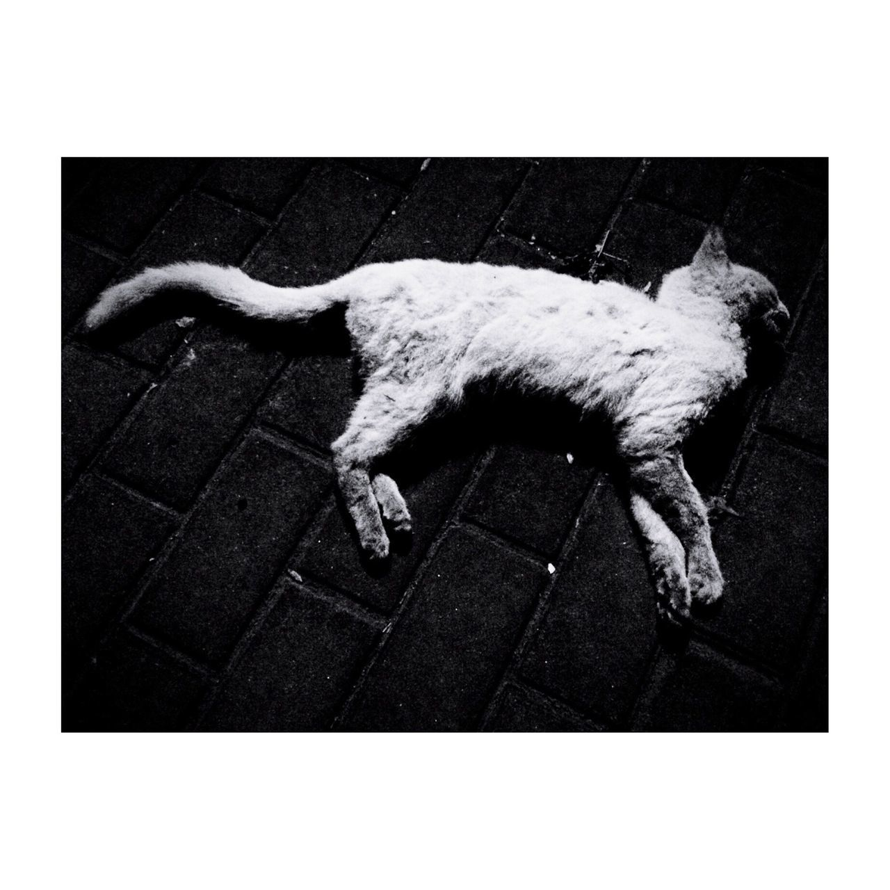 High Angle View Of Dead Cat On Street
