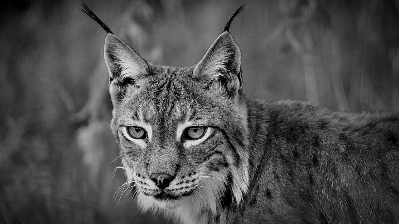 Blackandwhite Nature Wildlife Cat Portrait Popular Animals