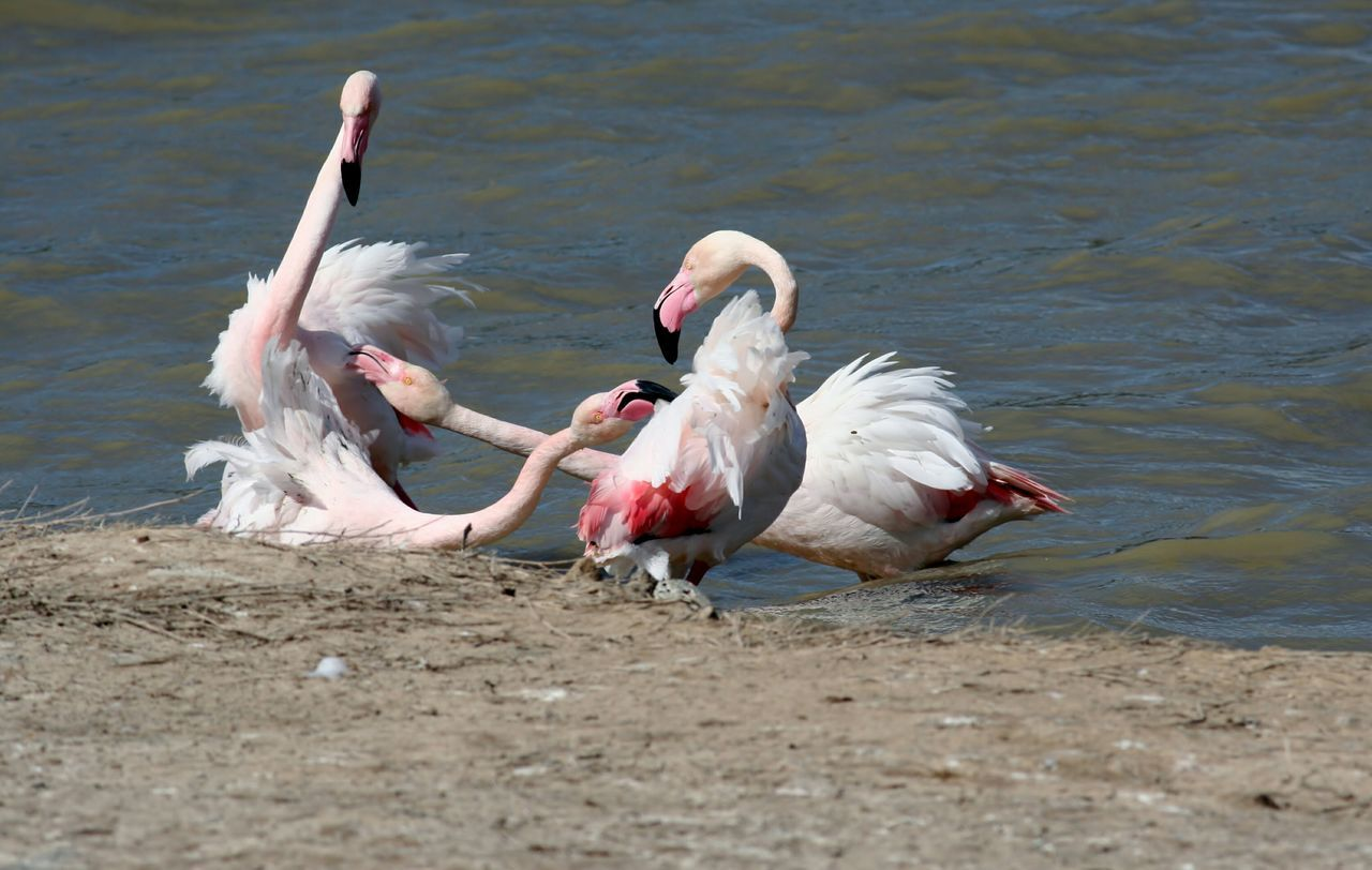 Pink Flamingo Pink Flamingos Flamant Rose
