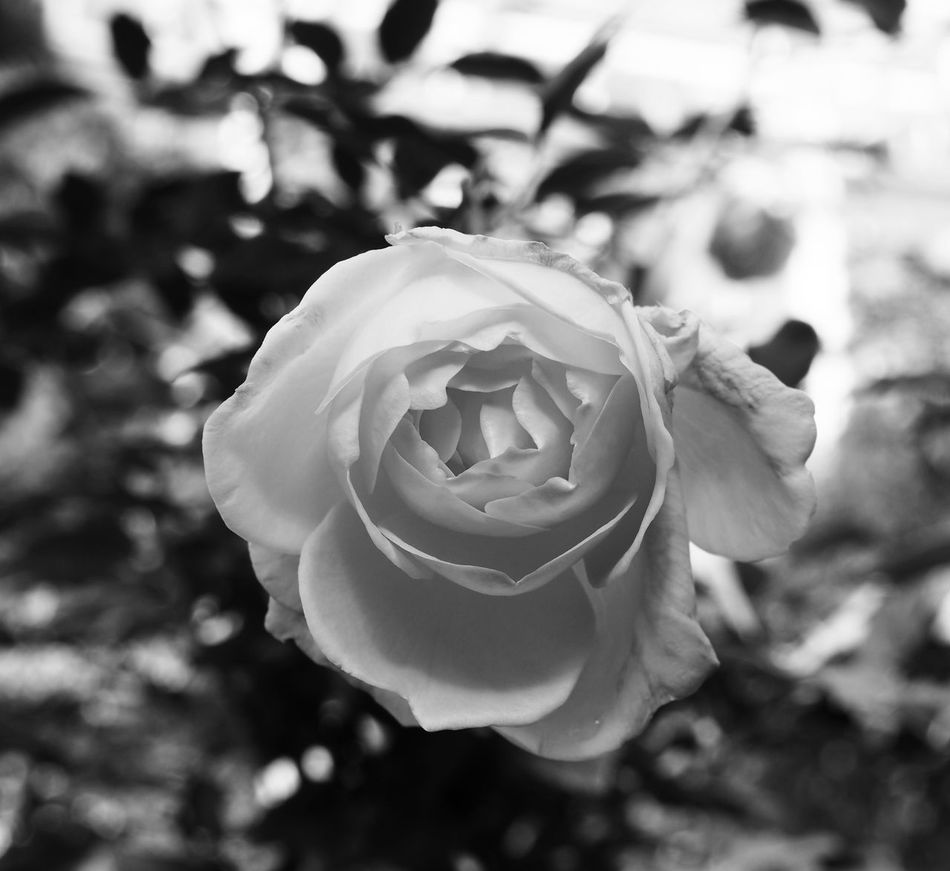 Flower Petal Nature Fragility Close-up Growth Flower Head Beauty In Nature Blackandwhite Photography Blackandwhite Plant Blooming Missouri Botanical Garden