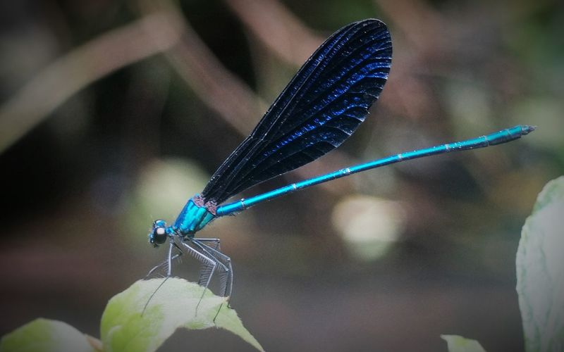 D'Papatonk Animal Themes Animal Wing Animals In The Wild Beauty In Nature Blue Bogor Close-up Damselfly Focus On Foreground Insect Nature No People Odonata One Animal Outdoors Papatong