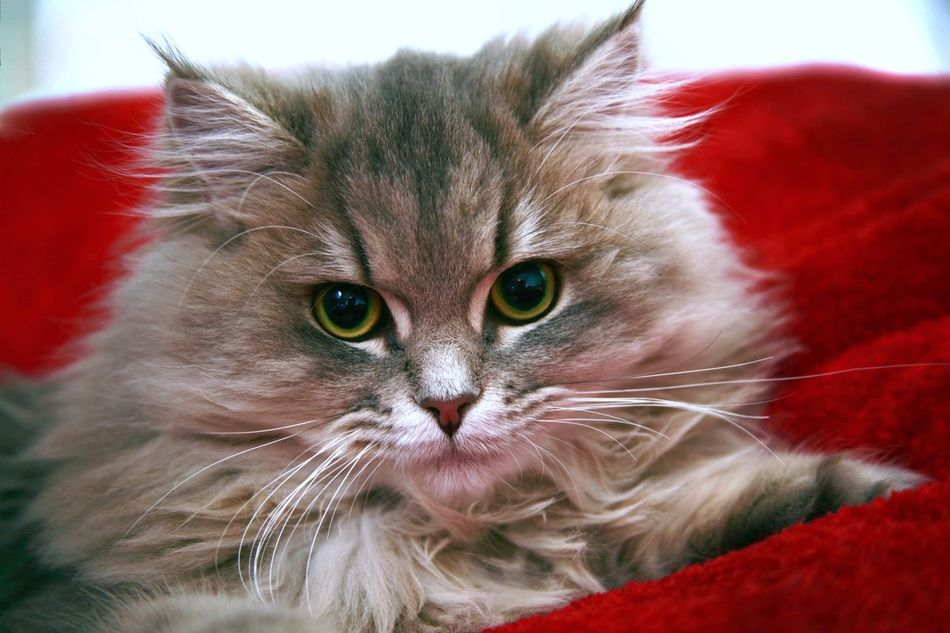 Beautiful stock photos of baby katzen,  Animal Eye,  Animal Hair,  Animal Head,  Animal Themes