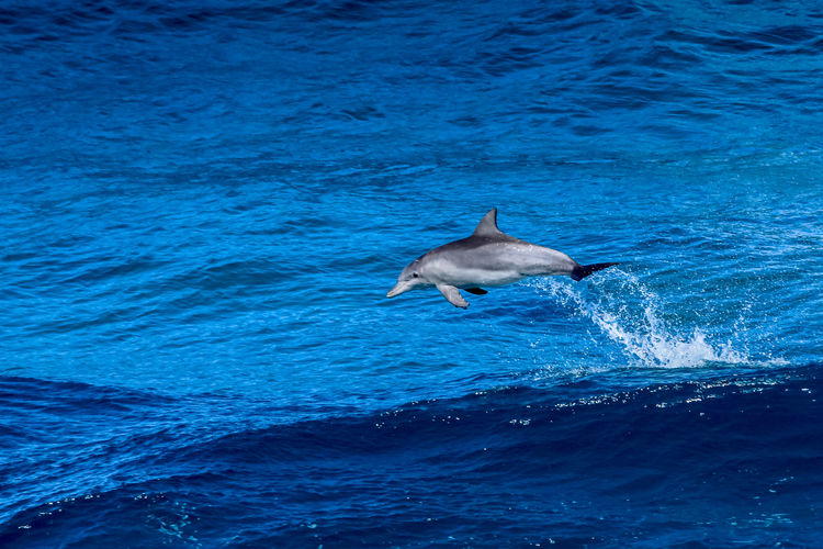 Dolphin wave jumping at North Stradbroke island. It looks to me like an Indo-Pacific bottlenose dolphin (Tursiops aduncus); any dolphin identification experts out there? Queensland, Australia Love Life, Love Photography Leaping Animal Wildlife Animals In The Wild Aquatic Mammal Jumping Blue Day Dolphin Dolphins Indo-Pacific Bottlenose Dolphin Low Section Mammal Nature No People One Animal Outdoors Qld Australia Sea Sea Life Stradbroke Stradbroke Island Swimming Tursiops Aduncus Water Whale