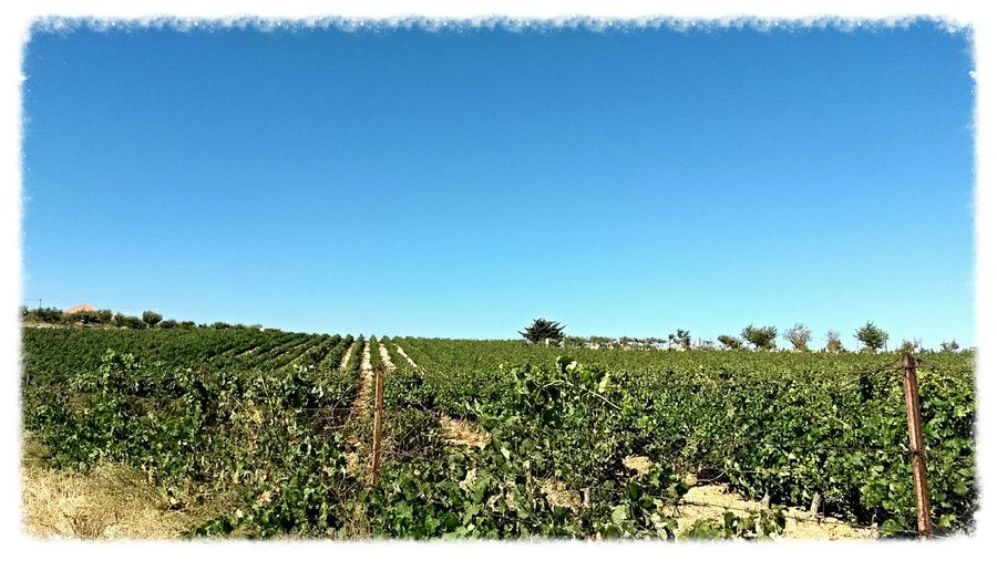 Vineyard Bekaa Valley Lebanon