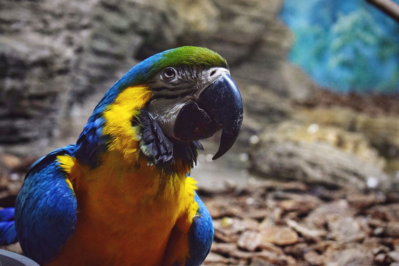 Birds 🕊 Animal Themes One Animal Animals In The Wild Bird Animal Wildlife Close-up Focus On Foreground Nature No People Gold And Blue Macaw Outdoors Parrot Day Beauty In Nature Macaw Macaw Parrot Bird Photography