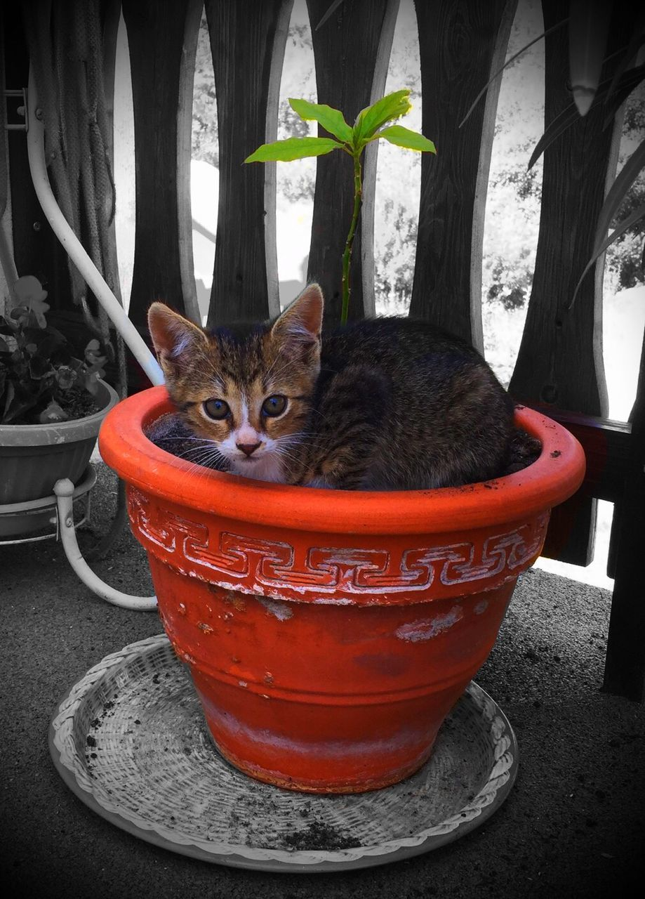 animal themes, one animal, pets, domestic animals, domestic cat, mammal, feline, looking at camera, potted plant, portrait, indoors, no people, red, whisker, day, sitting, full length, close-up