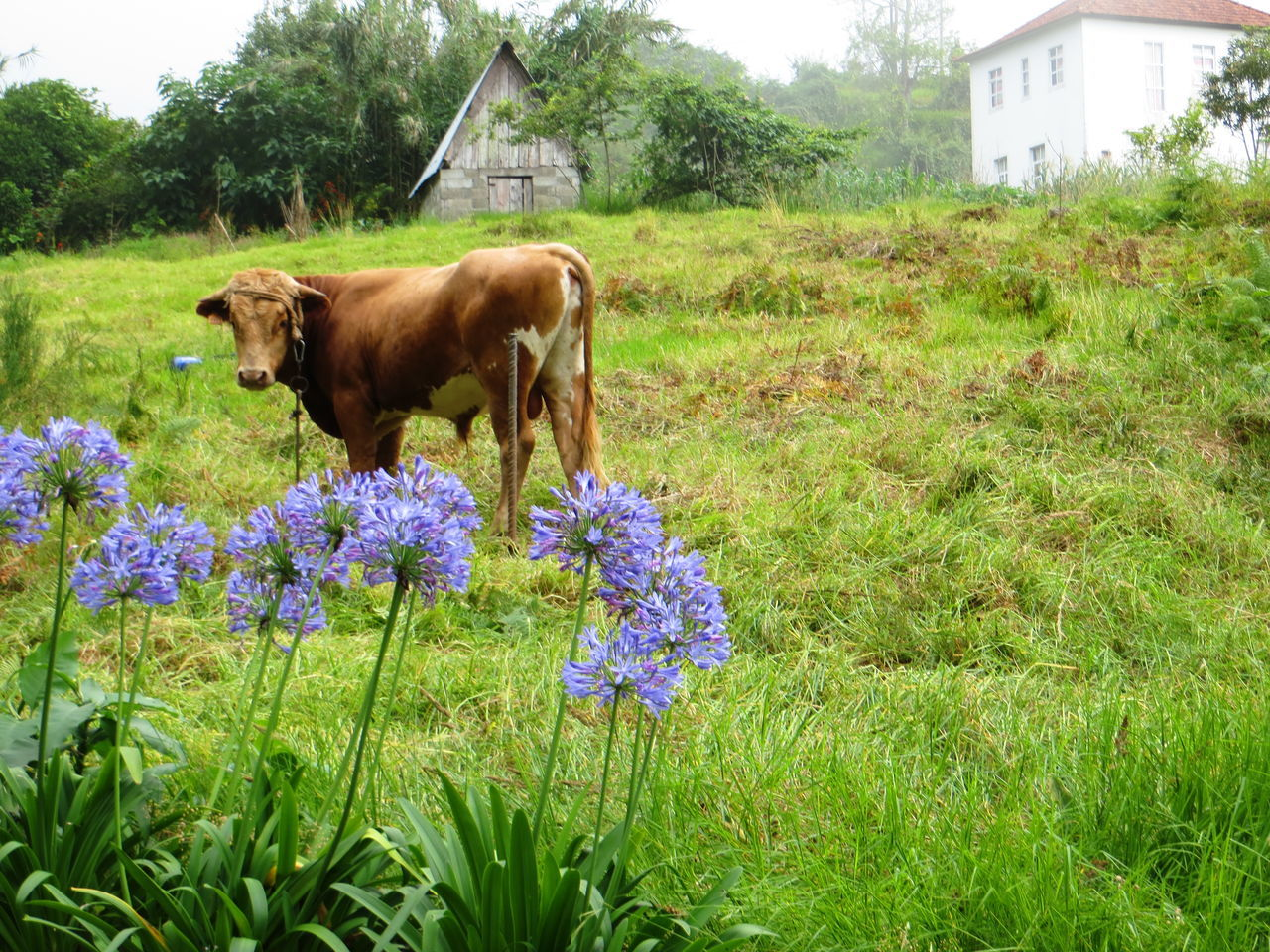Agapanthus Animal Themes Beauty In Nature Cow Cowbells Day Farm Building Field Flower Freshness Grass Growth Livestock Mammal Nature No People Outdoors Plant Sky