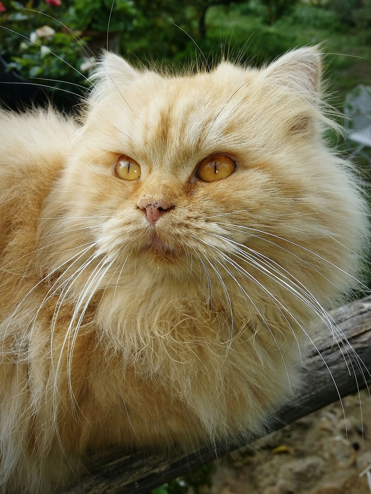 Cat Felinos Sicily Italy Gatto Hair Muzzlegang Orange