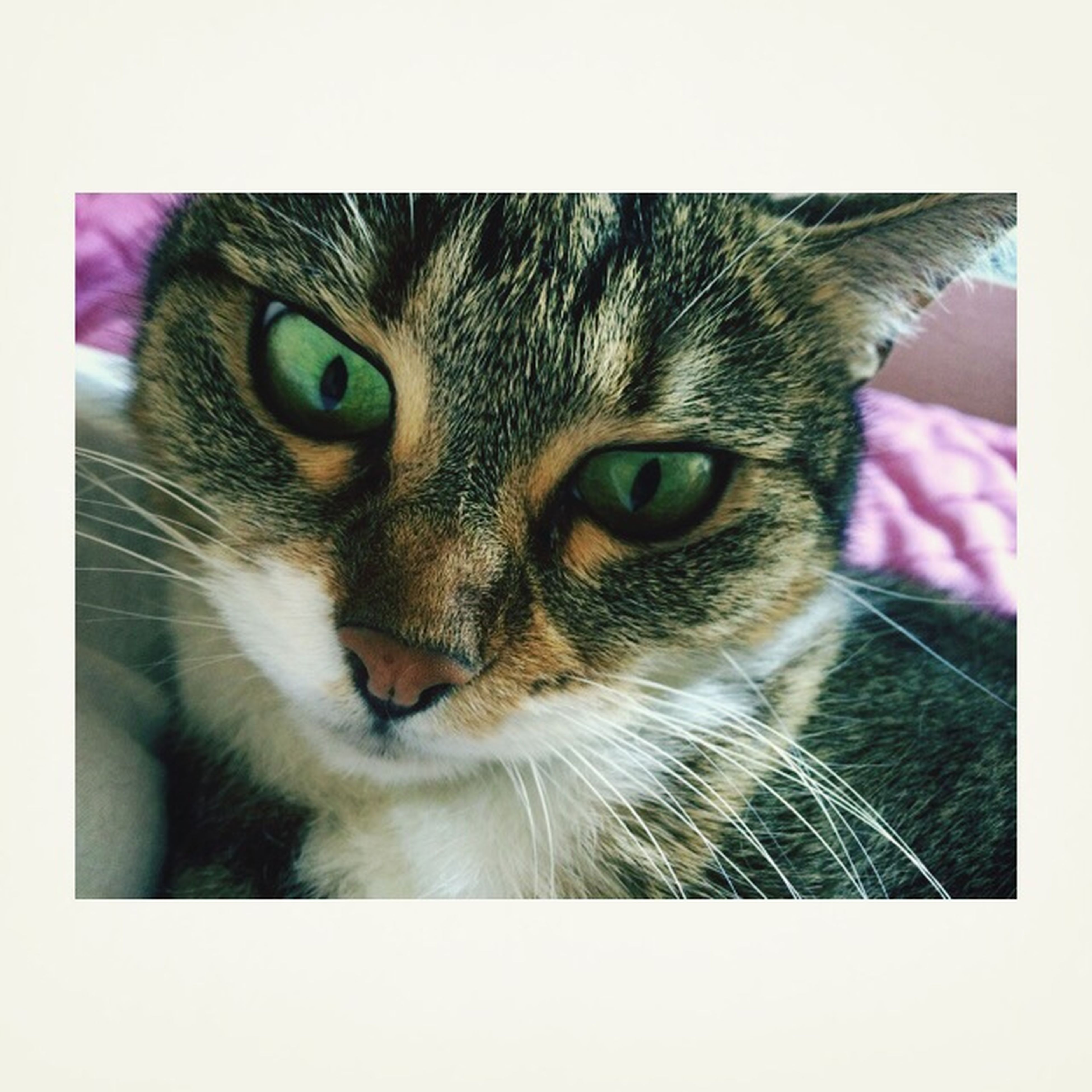 domestic cat, one animal, pets, transfer print, cat, domestic animals, animal themes, feline, portrait, whisker, looking at camera, auto post production filter, mammal, close-up, indoors, animal head, animal eye, staring, alertness, front view