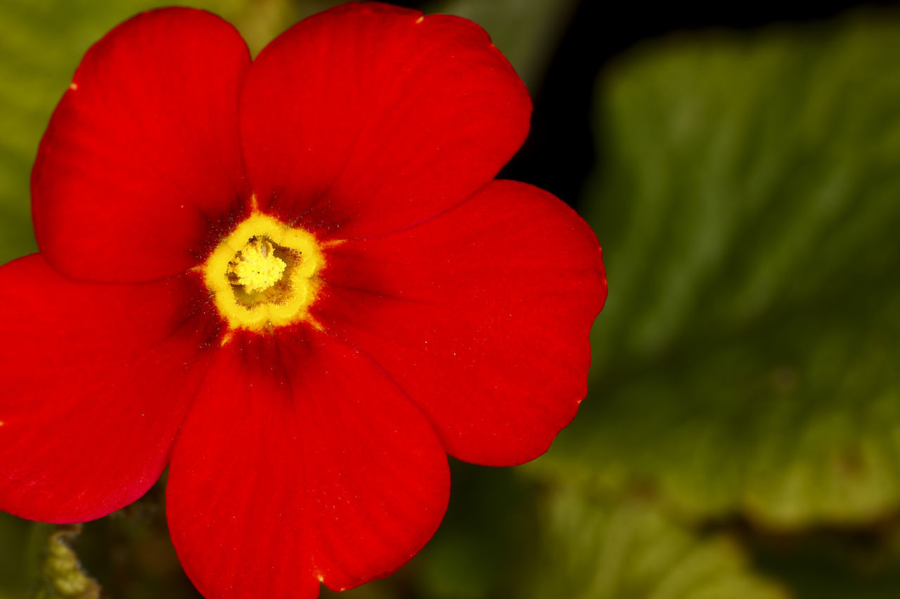 Primula flower Beauty In Nature Blooming Close-up Flower Flower Head Fragility Freshness Growth Nature No People Outdoors Petal Plant Primrose Primula Red