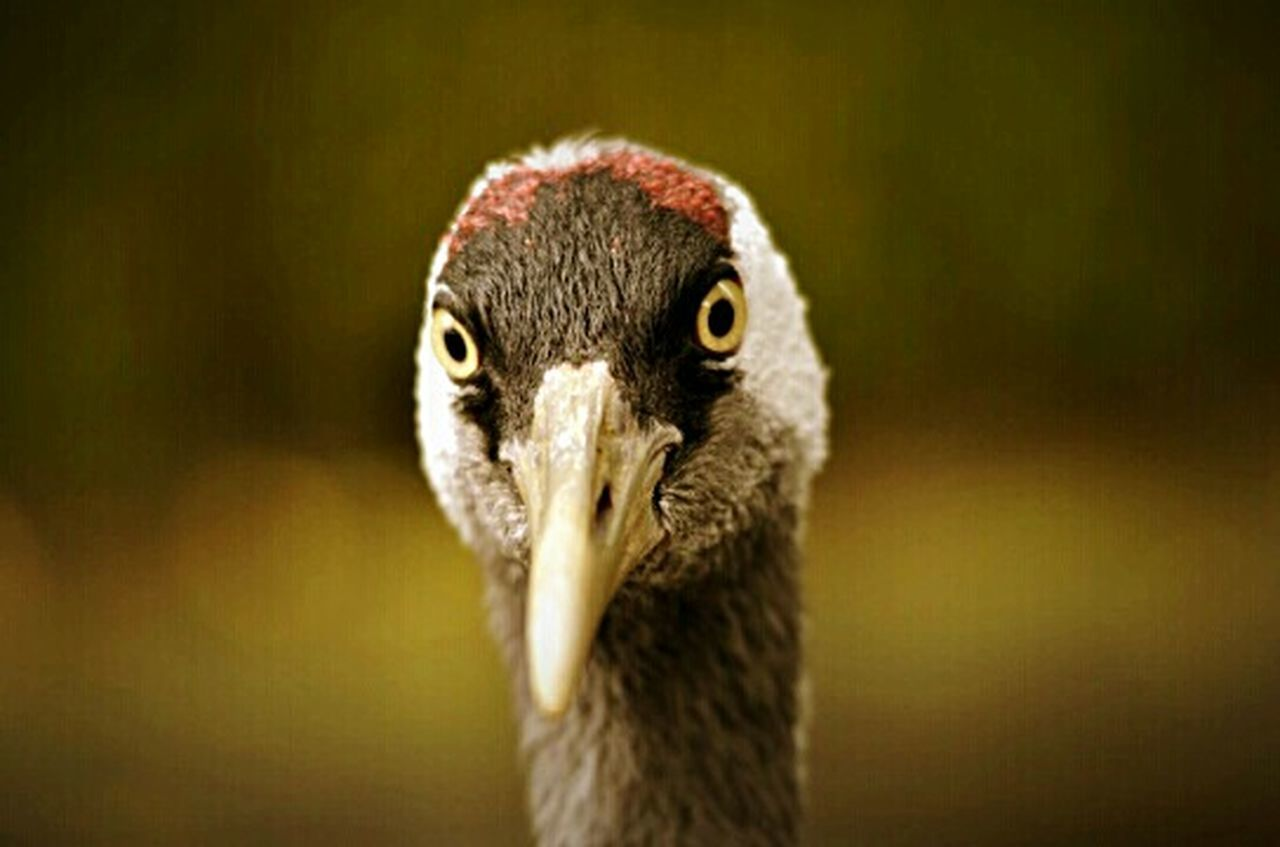 bird, one animal, animal body part, animal head, ostrich, animal wildlife, beak, portrait, close-up, looking at camera, animal themes, animals in the wild, no people, day, nature, outdoors, bird of prey
