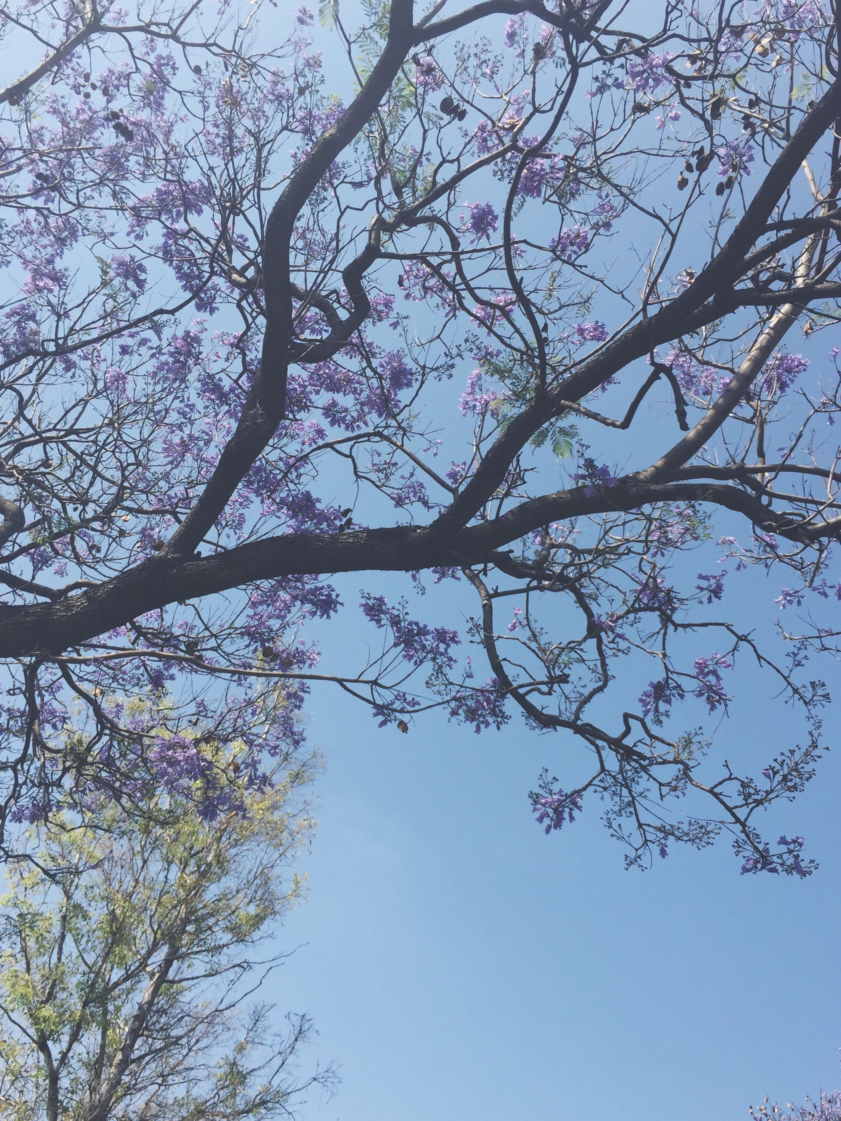 branch, low angle view, tree, clear sky, growth, nature, beauty in nature, sky, flower, blue, day, tranquility, outdoors, no people, freshness, blossom, high section, bare tree, scenics, cherry tree