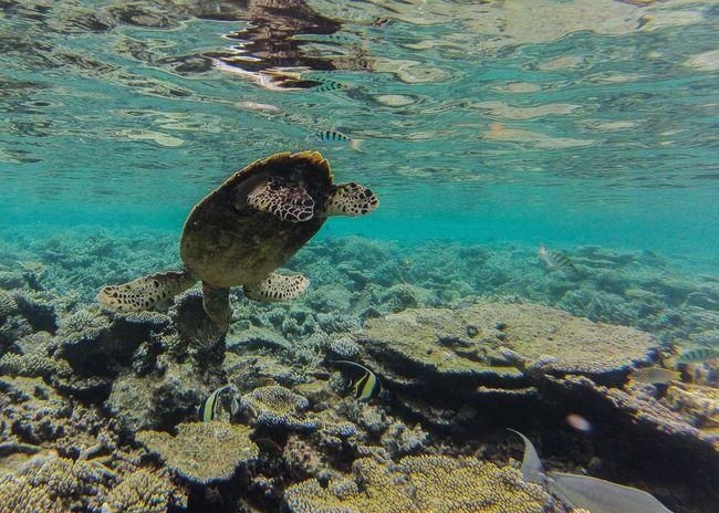 Schildkröte Unterwasser Meer Tauchen Koralle Riff schützenswert Malediven Karibik Südsee Water Underwater Sea Animal Themes Sea Life Swimming UnderSea Animals In The Wild Beauty In Nature Nature Sea Turtle One Animal Animal Wildlife Scenics No People Outdoors Day